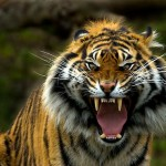 211218-12-eye-of-the-tiger-copy