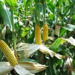 corn-ears